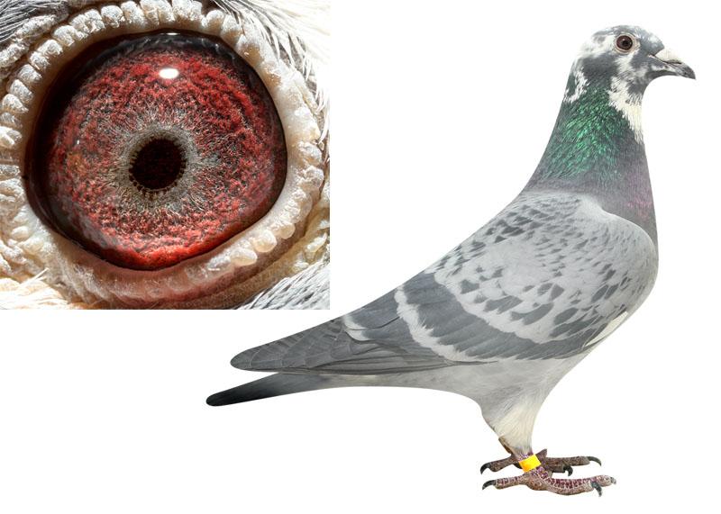 信鸽眼解刨图_信鸽鸽眼图片解析图 _排行榜大全