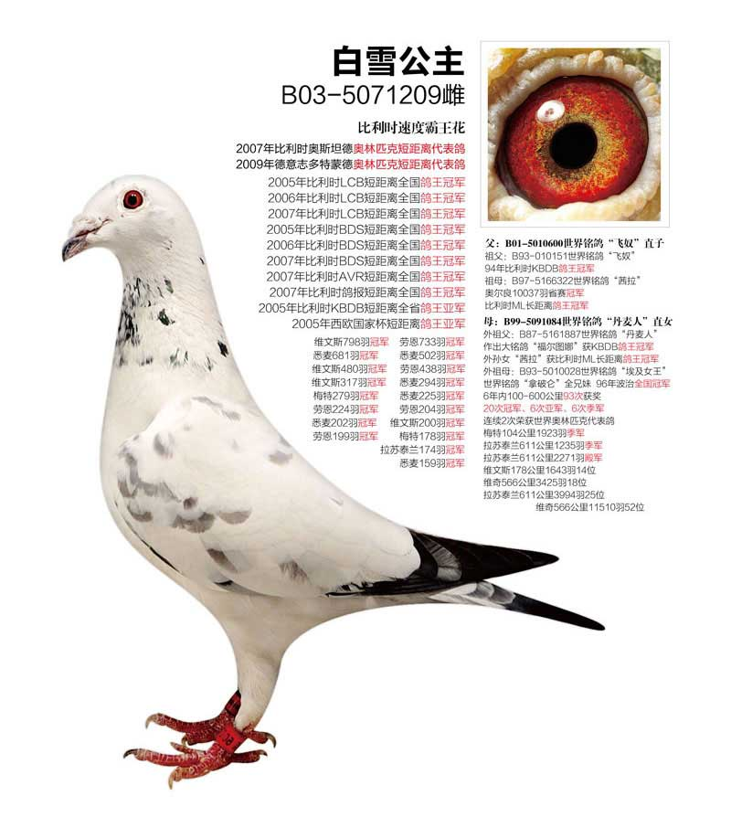 """乔斯托内原舍赛鸽""""白雪公主"""",眼睛非常漂亮的雌鸽!_网易视频"""