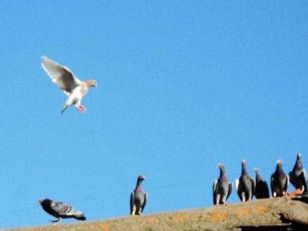 有遗传游棚基因的种鸽该淘汰?