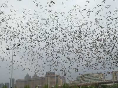 黑色星期一 您怎么看数万赛鸽未归?