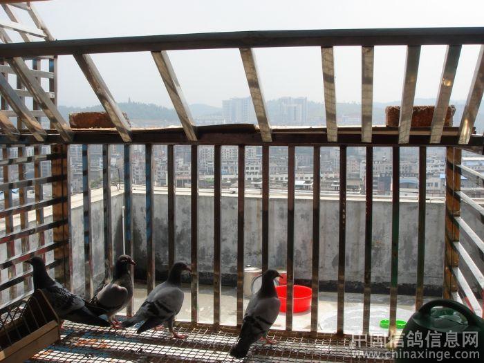十八层楼上的鸽舍(图)-信鸽园地焦点图片新闻