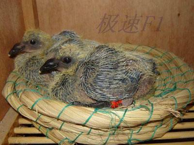 鸽子成长过程美图解说-信鸽园地焦点图片新闻图片