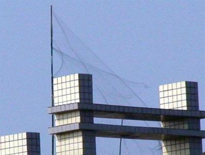 重庆铜梁惊现楼顶网鸽(图)-信鸽园地焦点图片新闻