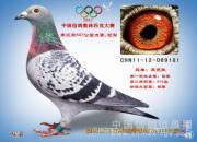 中国信鸽奥林匹克决赛优胜鸽欣赏