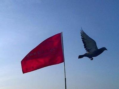 中国没有信鸽育种成系的人