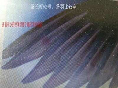 解析信鸽翅膀(图片)