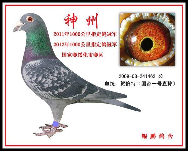 中国信鸽协会_晒远程鸽风采--中国信鸽信息网 www.chinaxinge.com