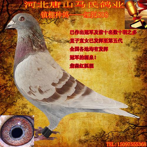 本鸽业镇棚种鸽红狐808是一羽2003年的詹森红狐狸血统的雌鸽,故图片