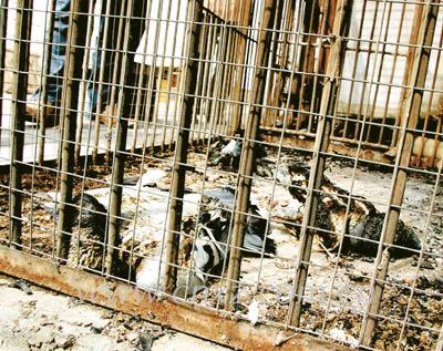 十平方米的鸽舍内一片鸽尸-凌晨怪火烧死楼顶百羽信鸽