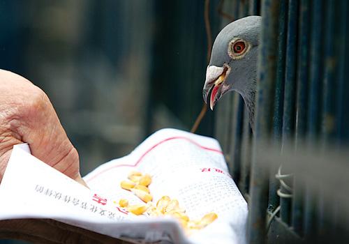 昨日,两路口体育馆,玉米抓紧鸽子给即将启程的时间喂上几颗主人小蚂蚁搬虫虫贝瓦酷我图片