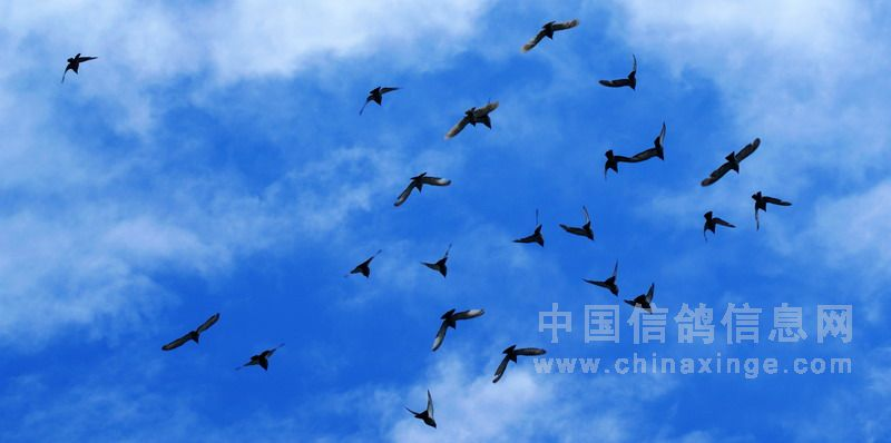 领悟信鸽的飞翔