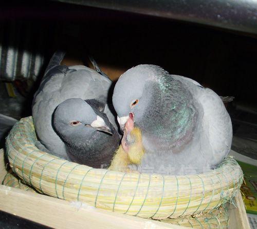 可尔养在家的故事之六 把鸽养育在家之因只是为了捡起一条小生命。到后来演变为家庭成员,增加了家庭的活跃气氛,为老人们消减了寂寞,为工作之余换了个脑子。没有想到养育的很是高兴,很有情趣,很有人情味。让爱鸽们也感到人间的温暖。 一对幼鸽成长为五月龄后,性成熟起来。