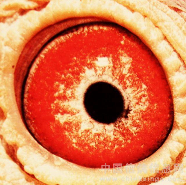 血统比较纯正优异的砂眼种鸽   这两种选配方法属于差异交