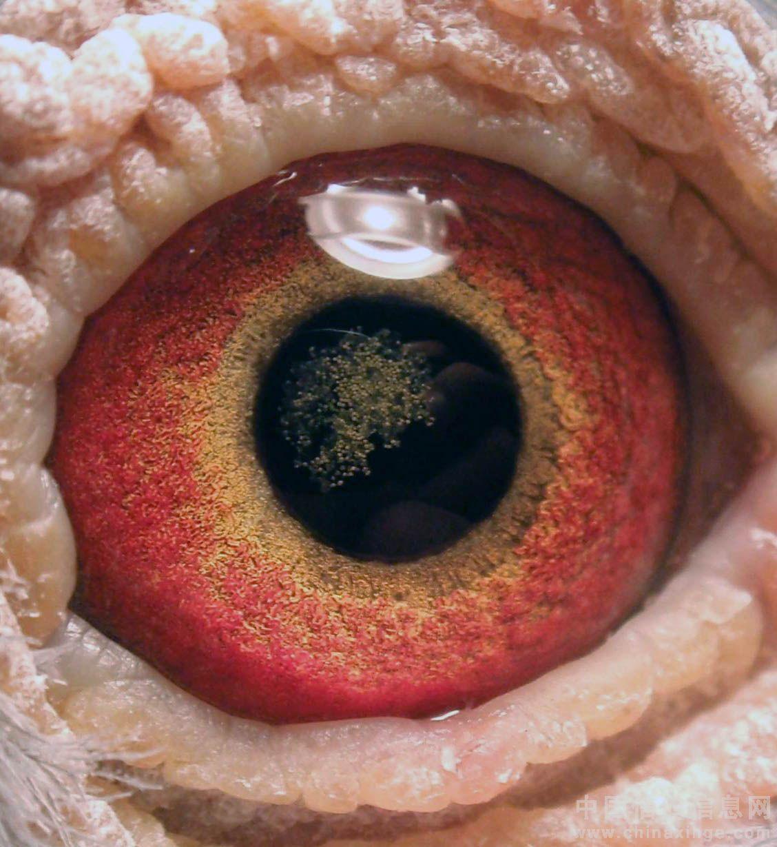 中国 信鸽/例如:人眼的视神经乳头周围视网膜有水肿、火焰状出血和黄白色...