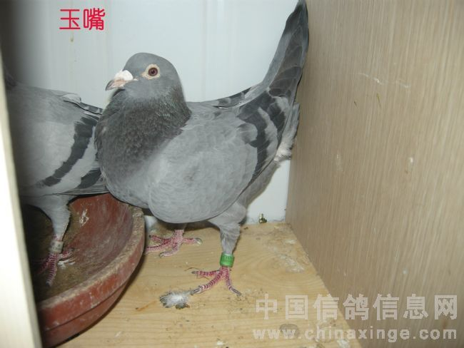 公棚快速鸽的特征(图一)