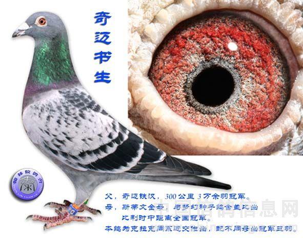 鸽赛(冠军父母配对欣赏) 六-信鸽园地-中国信鸽信息网