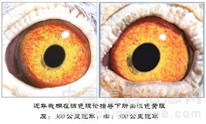 中国 赛鸽/对种赛鸽眼色彩搭配的实践,我们也是初探。毕竟冬天来了,春天...