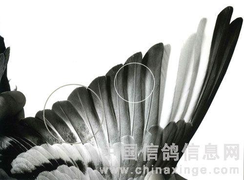 鉴赏:翅膀排列与风隙(图)