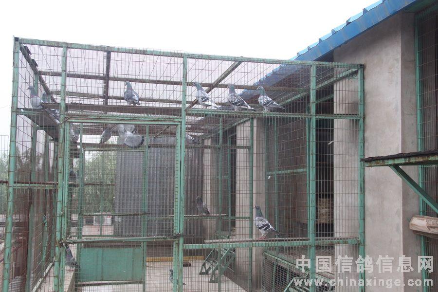 平房小院的北京袁昌利鸽舍 图 中国信鸽信息网