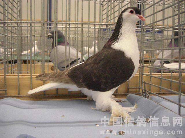 中国信鸽协会_国外观赏鸽欣赏(图)-信鸽园地-中国信鸽信息网