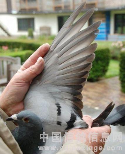 优秀赛鸽翅膀特点(图)-中国信鸽信息网