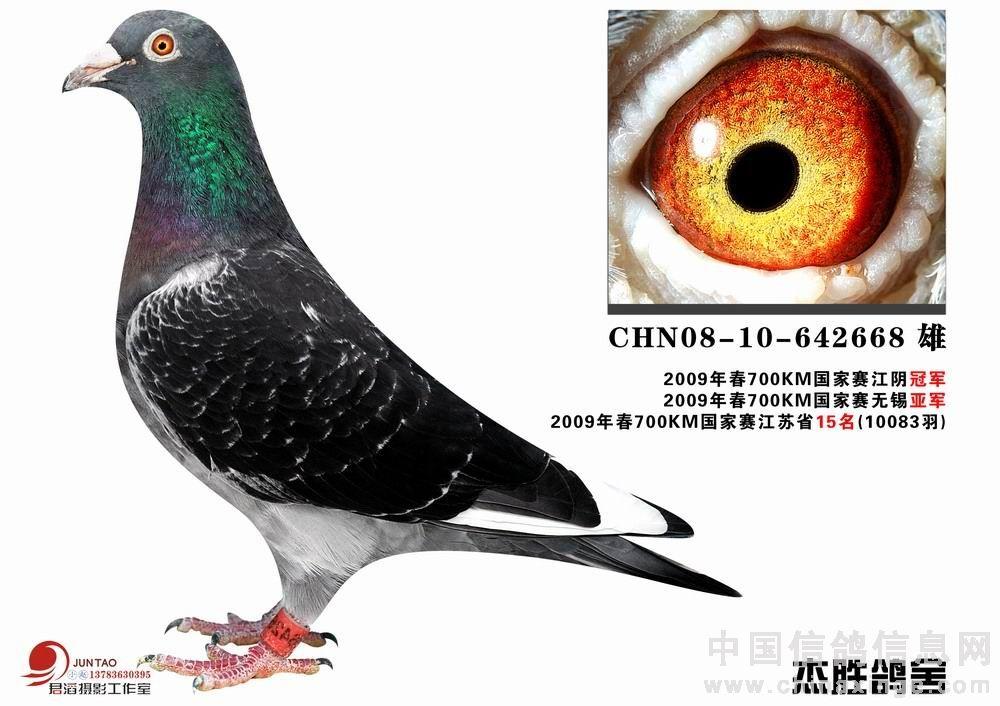 欣赏墨雨点灰裤鸽 峥嵘风云赛鸽中心图片