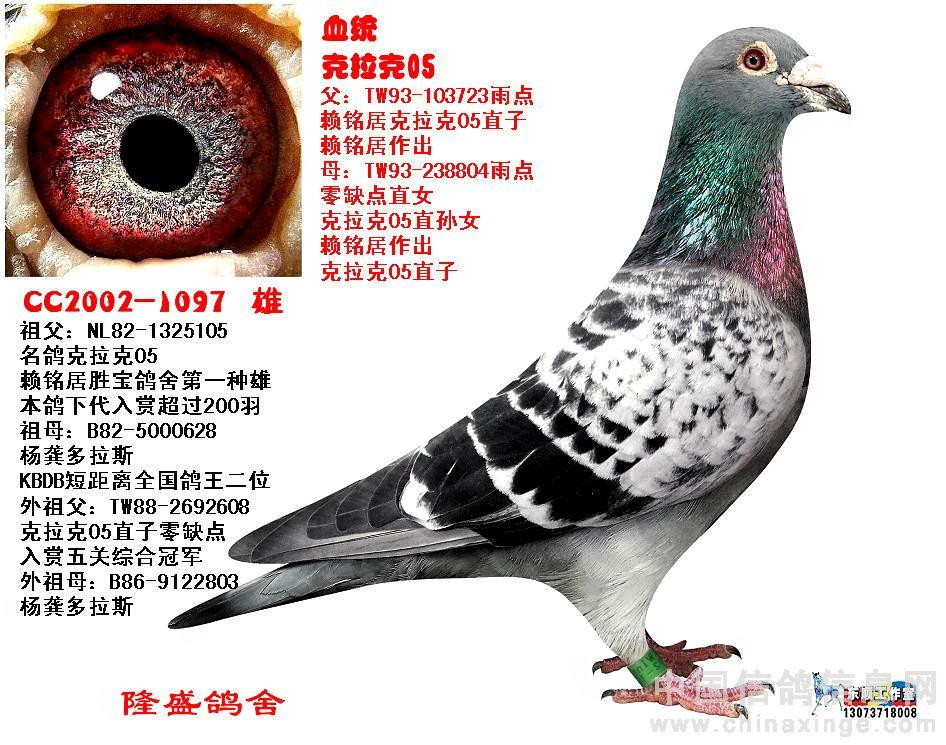 欧洲细花雨点鸽的欣赏图片