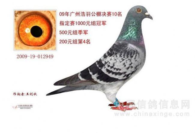 自家黄金种母鸽培育过程