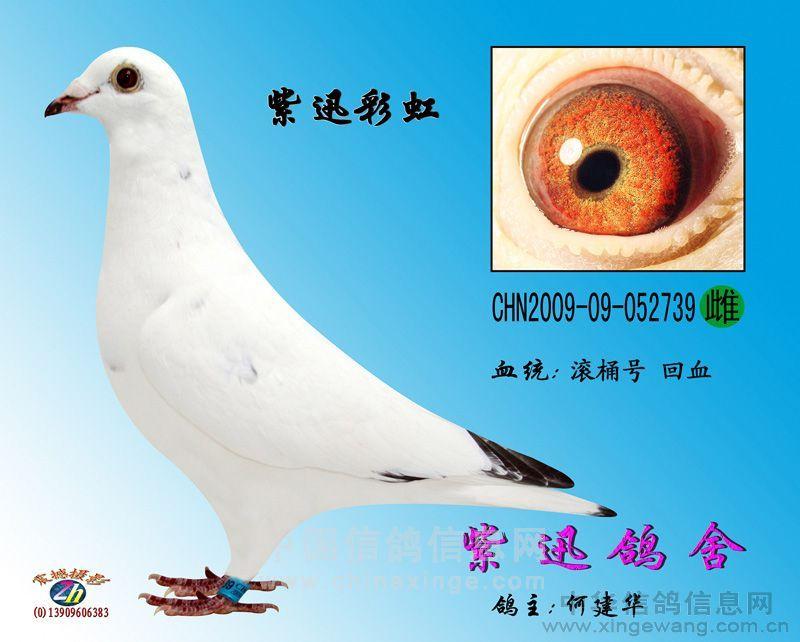 例多少,只要是雨点或灰鸽血统基 除非近亲回血基本已经白化的鸽子图片