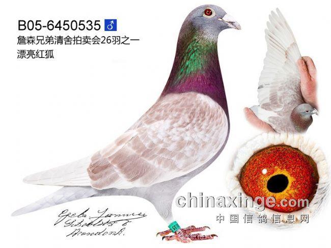 05漂亮红狐(雄,05-6450535)-詹森红狐狸鸽系图片