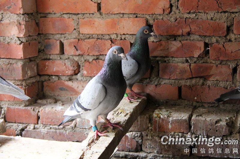 农村鸽友陋舍养鸽一年 飞出公棚28名(图)-中国信鸽网-农村怎么养信图片