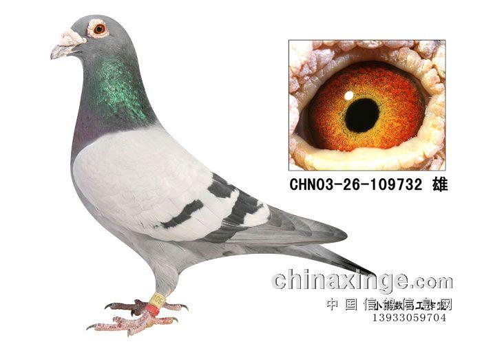 眼志遗传的若干现象 虞海明 -中国信鸽信息网