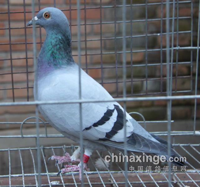 大部分为桑杰士血统鸽,是随手抓拍,因为是动态的,故效果不如   制图片