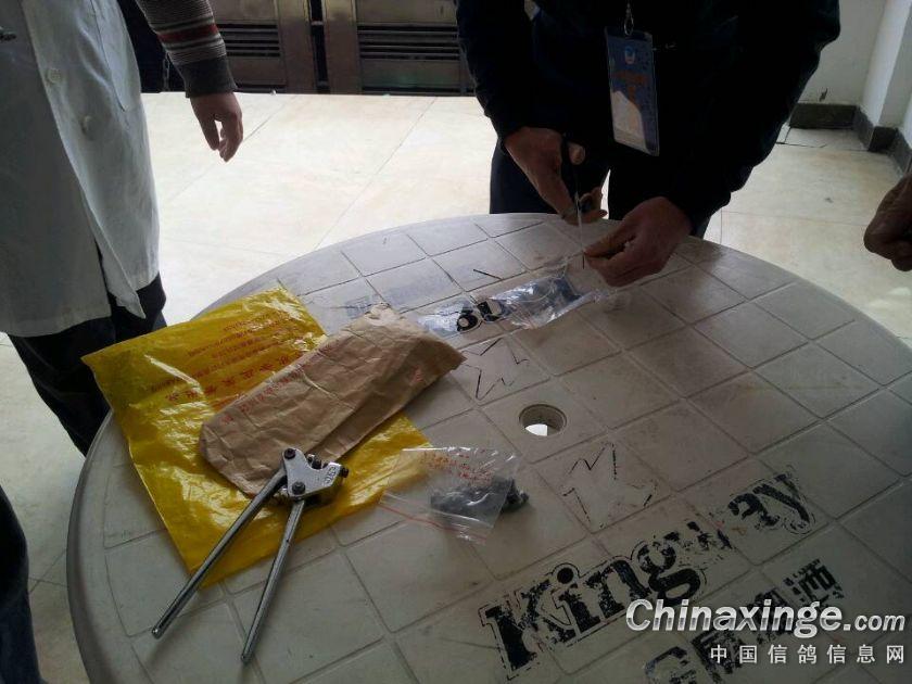 中国国家信鸽公棚赛决赛放飞厦门到鸽
