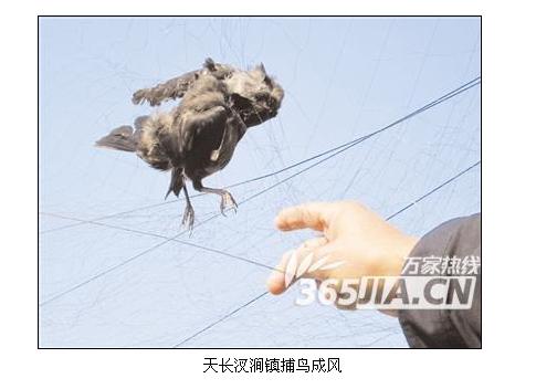 当地森林公安屡次出警,打击滥捕鸟类的行为.可鸽友们的损失还在继续.