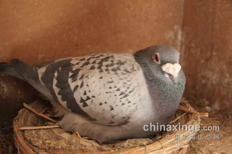 姚志君/请欣赏姚志君先生的鸽舍图片,养训练体会的视频正在制作中。