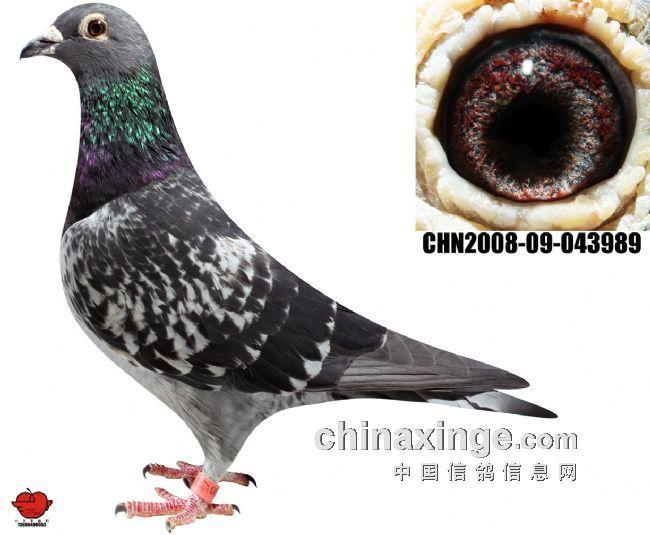 跃龙系种鸽