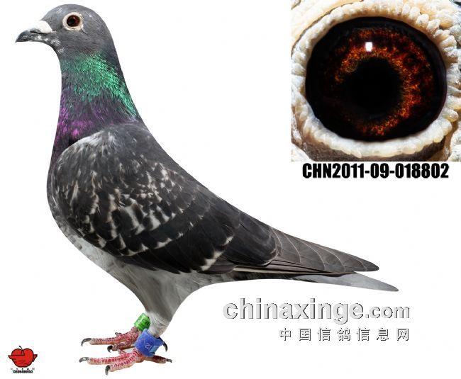 此鸽为吴淞跃龙系