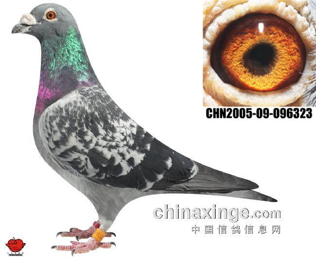 此鸽为吴淞小尖嘴雄鸽