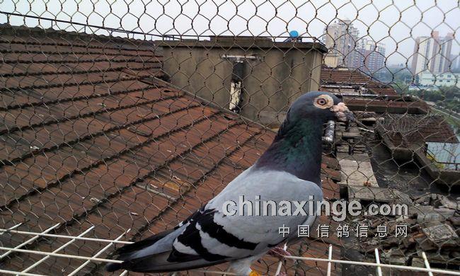 此鸽为吴淞圆头雄鸽