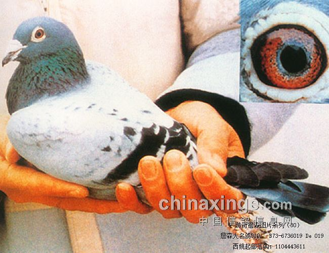 传奇詹森图片系列(16-35)-信鸽园地-中国信鸽信息网
