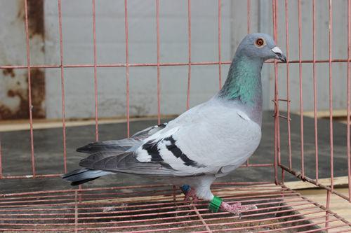 石家庄市吉祥赛鸽俱乐部340公里比赛中,聋哑鸽友任彦康的爱鸽高清图片