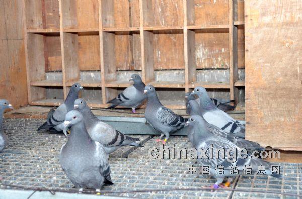 重庆山鹰鸽舍种鸽棚棚内一角-科学养鸽 何建民