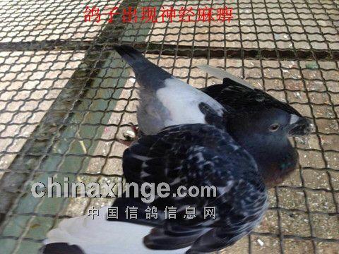 鸽子肌胃内物墨绿色异常-湿热诱发公棚鸽群疾病来袭图片