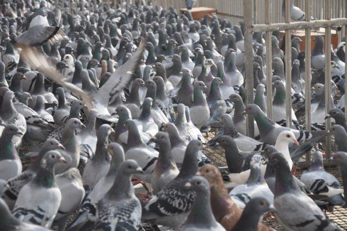 贵州红枫清棚:罗汉说鸽直播