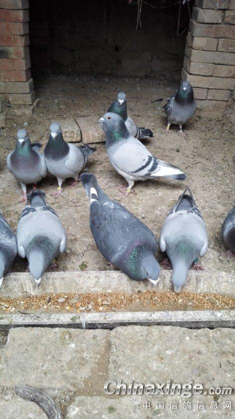 鸽子鸽饭店鸟电话472_840竖版竖屏旅顺狮子口动物鸟类图片