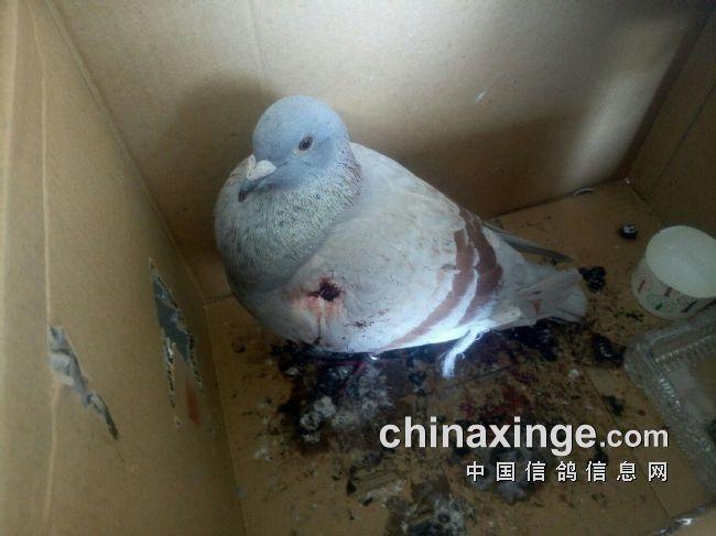动物鸽鸽子鸟鸟类650_487仓鼠王睡觉图片