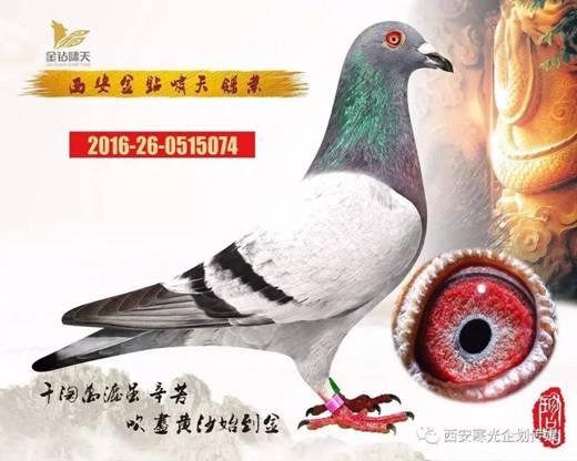 E:\(2)信鸽\(1)新疆飞天公棚\ae596fec184bf6d8deb21ade21e58e54.jpg