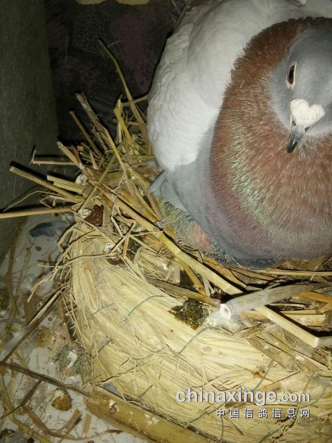 真疼母鸽护犊喂食手都啄裂-园地寝室-中国信信鸽适合养在兔子图片
