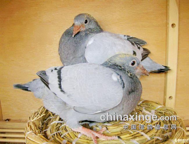 赛鸽致胜法则-中国信鸽信息网
